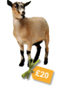 Buy a goat for a developing country family via Practical Presents