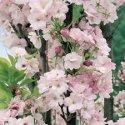 Prunus amanogawa - Japanese plum